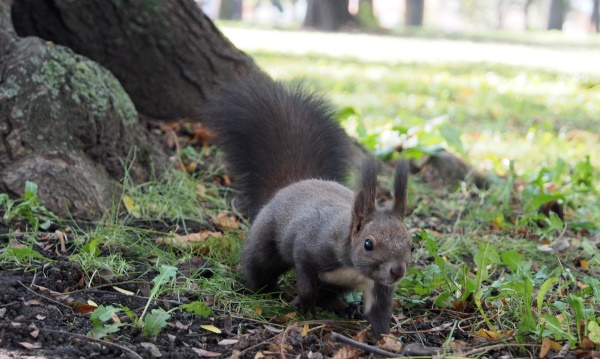Schwarzes Eichhörnchen (Crna Veverica)